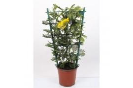 Acacia mimosa daelbata griglia x3