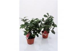 Camellia japonica rosa x8