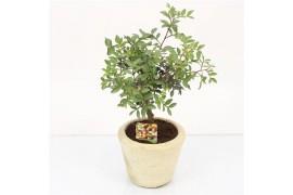 Pistacia lentiscus terracotta Vaso x4