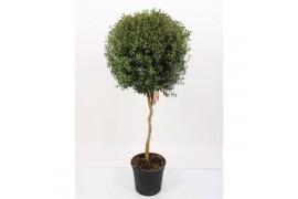 Myrtus communis a palla