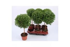 Myrtus communis x6