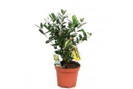 Olea europaea thick trunk incl olij x6