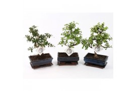 Bonsai misto s-shape x6
