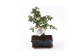 Bonsai carmona retusa s-shape x6