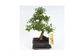 Bonsai zelkova sp. s-shape x6