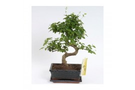 Bonsai ligustrum sinense x6