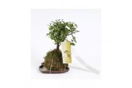 Bonsai sageretia sp. bonsai x10
