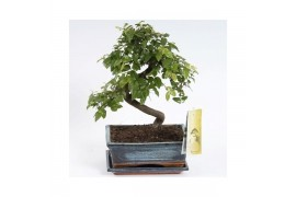 Bonsai sageretia sp. bonsai in ceramica Con schotel x6