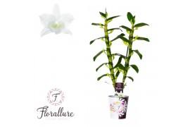 Dendrobium nobile star class apollo 2 ramo + cachepot x6