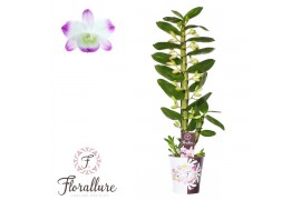 Dendrobium nobile star class sea ma 1 ramo + cachepot x6