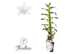 Dendrobium nobile star class apollo 1 ramo + cachepot x6