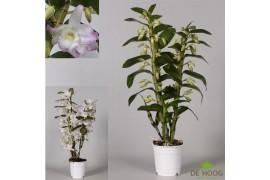 Dendrobium star class sea sary 2 ramo x10