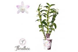 Dendrobium nobile star class sea ma 3 ramo + cachepot x10
