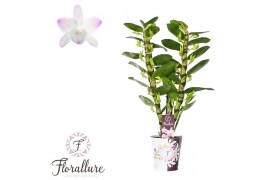 Dendrobium nobile star class sea ma 2 ramo + cachepot x6
