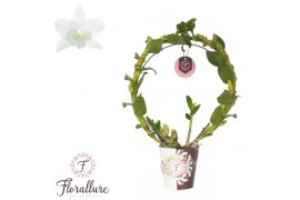 Dendrobium nobile star class apollo 2 ramo boog + cachepot x5