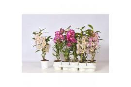 Dendrobium nobile cultivars 1/2 ramo budgetmix x10