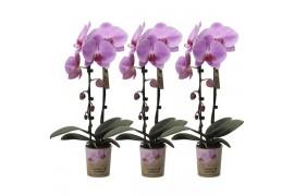Phalaenopsis multiflora kolibri big sensation paar scuro rosa cascade 1 ramo Con potco x6