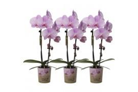 Phalaenopsis multiflora kolibri big sensation rosa cascade 1 ramo Con cachepot x6