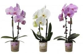 Phalaenopsis multiflora kolibri big sensation misto cascade 1 ramo Con cachepot x6