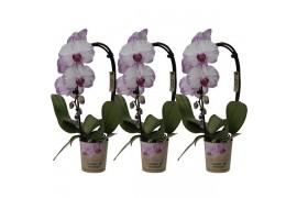 Phalaenopsis multiflora kolibri big sensation bianco spotty cascade 1 ramo Con cachepot x6