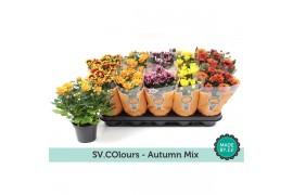Chrysanthemum ind. misto autumn