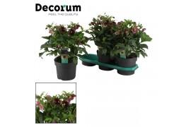 Helleborus orientalis viv. victoria decorum