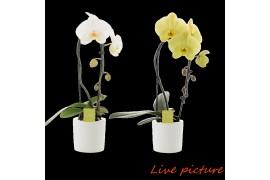 Phalaenopsis misto fontano no.9 in ceramica bianco e giallo