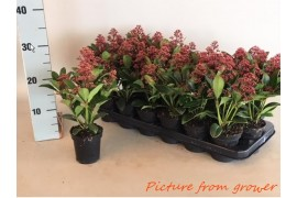 Skimmia japonica rubella 4+ fiore