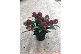 Skimmia japonica rubella 10+ fiore