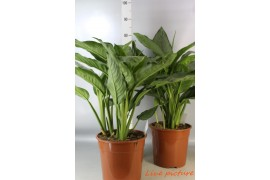Aglaonema freedman x2