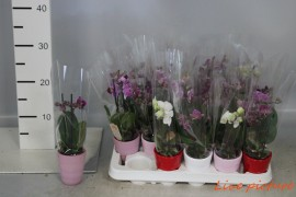 Phalaenopsis minimix 2 tak in keramiek x20