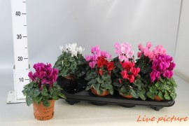 Cyclamen ss mini winter mix x8