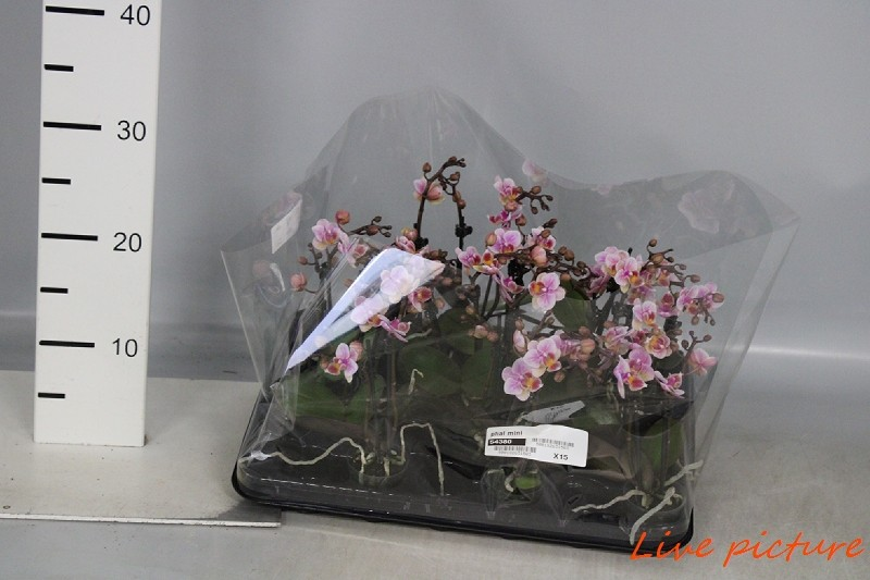 Phalaenopsis mini2 tak x15