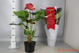 Anthurium andr. madural royal red6-8 bloem x1