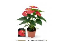 Anthurium andr. karma red sierra