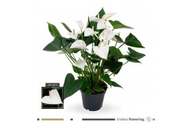 Anthurium andr. white winner