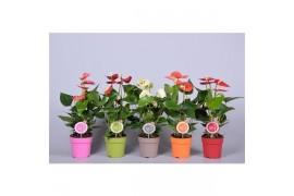 Anthurium andr. misto morelips 4/6 fiore