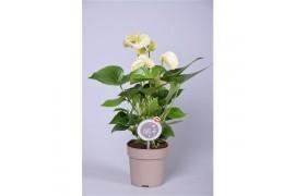 Anthurium andr. mont blanc morelips 4/6 fiore