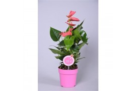 Anthurium andr. sweetheart pink morelips 4/6 fiore