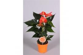 Anthurium andr. orange champion morelips 4/6 fiore