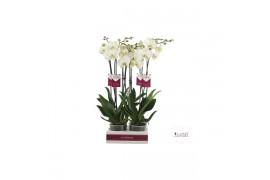 Phalaenopsis london 2 ramo 22+ 65cm
