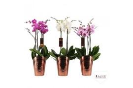 Phalaenopsis misto duetto 4 ramo 40+ 70cm