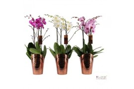 Phalaenopsis misto duetto 3 ramo 30+ 70cm