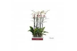 Phalaenopsis association 2 ramo 18+ 55/74cm