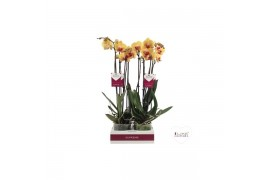 Phalaenopsis golden beauty 2 ramo 18+ 65cm