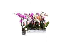 Phalaenopsis misto 8 colori 3 ramo 18+ 55cm ongelijke taklengte