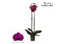 Phalaenopsis poseidon 2 ramo 18+ 75cm
