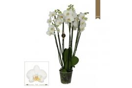 Phalaenopsis dover 6 ramo 35+ 55cm