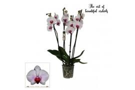 Phalaenopsis anthura denver