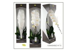 Phalaenopsis formidablo n15 gfo15ks 1 ramo in ceramica + scatola decorativa